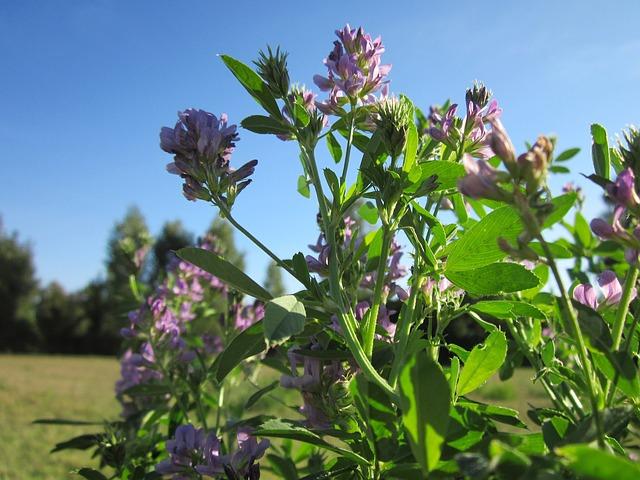 Vojtěška alfalfa