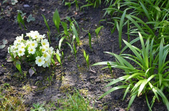květy medvědího česneku